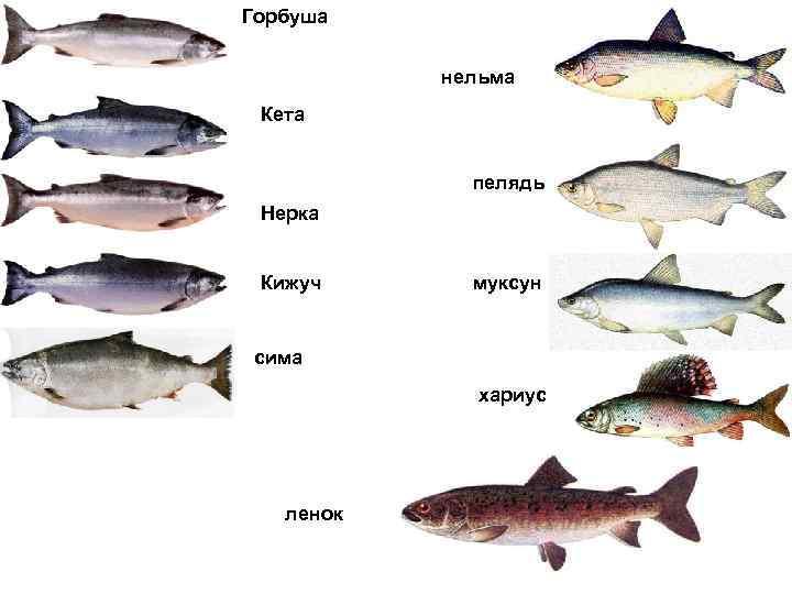 Можно ли горбушу ребенку в год. со скольки месяцев можно давать ребенку рыбу и какую лучше выбрать? какую рыбу можно давать детям