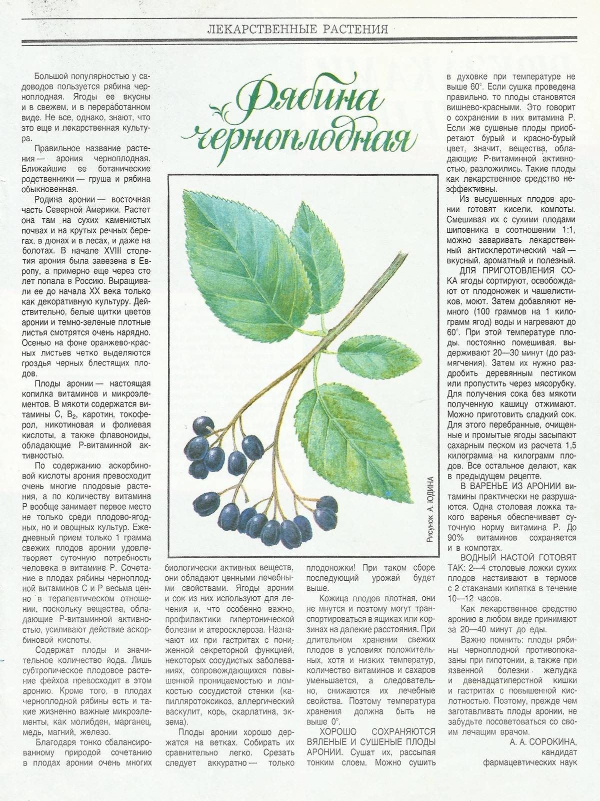 Черноплодная рябина. топ 10 лечебные свойства и противопоказания. черноплодная рябина от давления