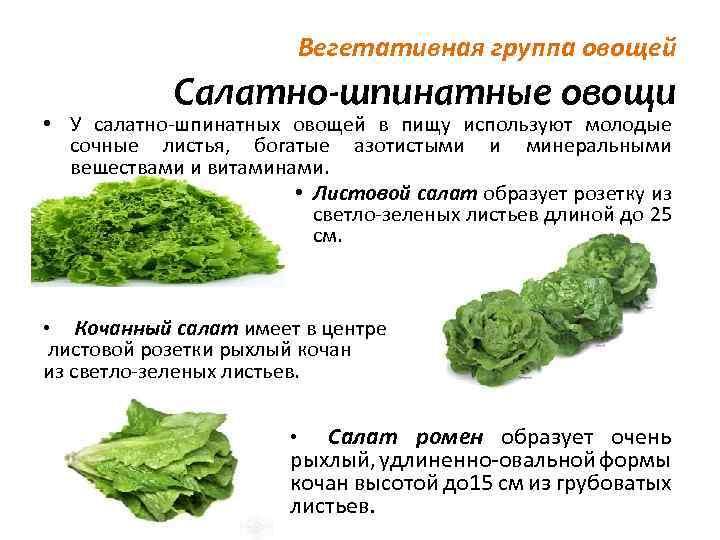 Салат - полезные и опасные свойства салата