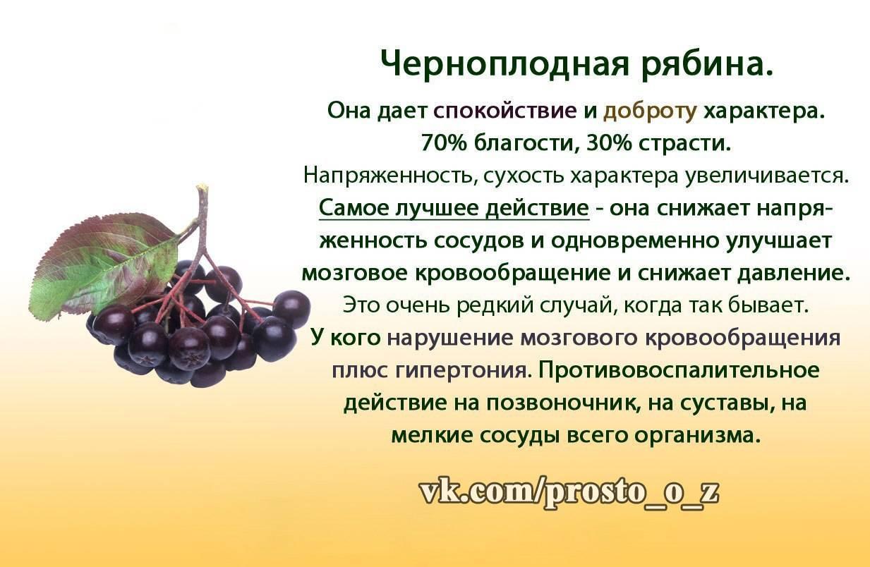 Черноплодная рябина: полезные, лечебные свойства и противопоказания, польза и вред, применение