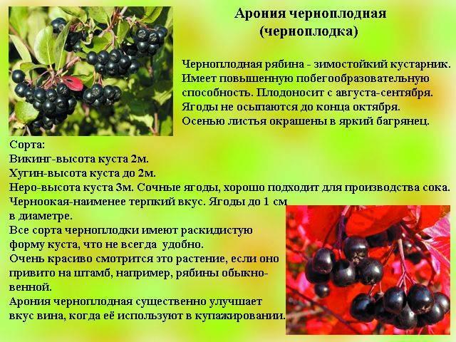 Рябина черноплодная: полезные свойства, лечение давления